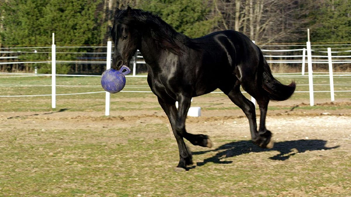 a black horse holding a purple ball toy in its mouth