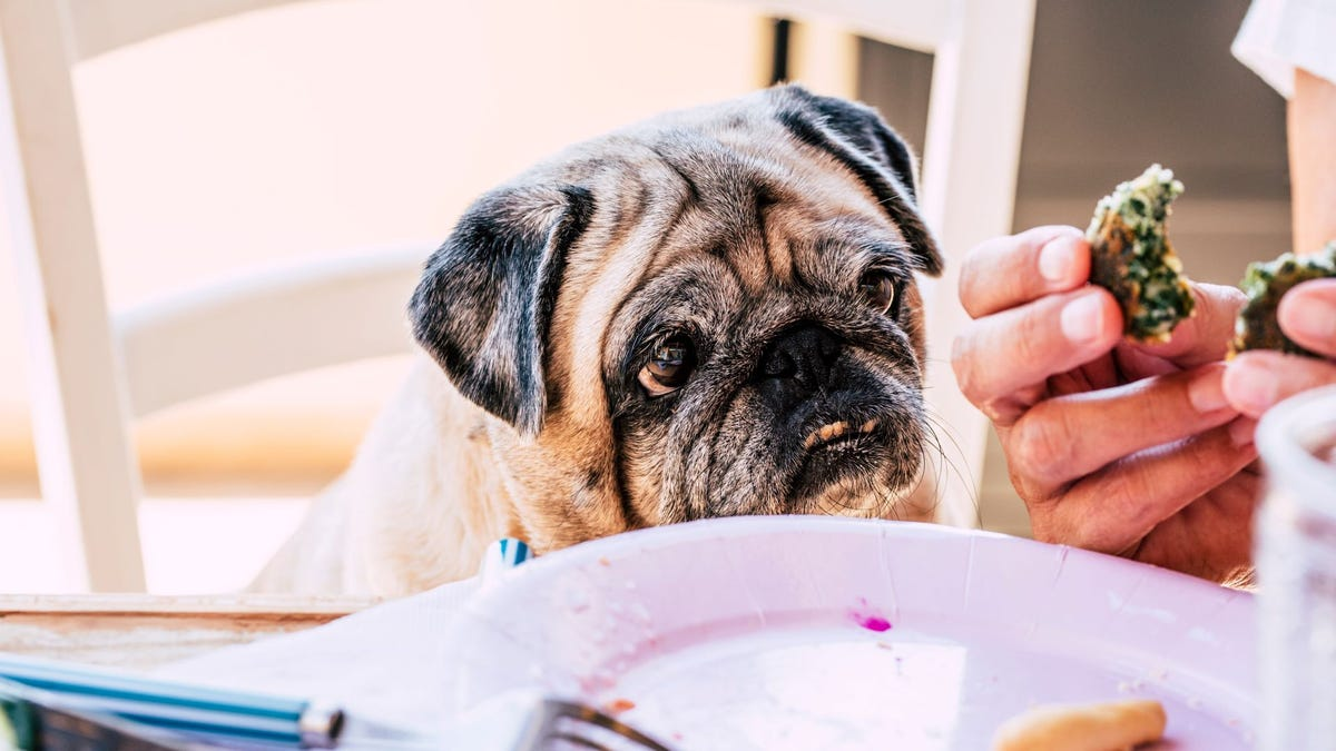 A pug dog looking at what a man is eating at a table.