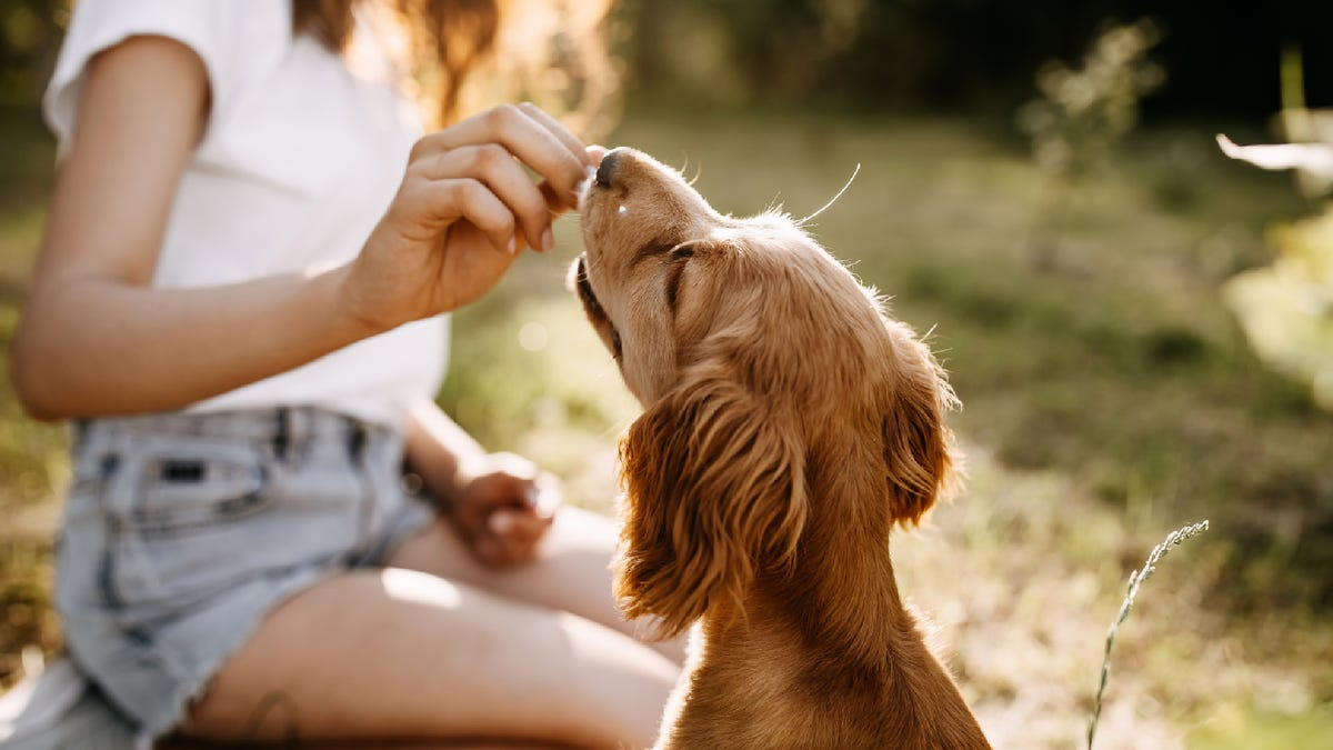 young woman feeding her cocker spaniel dog a treat outside