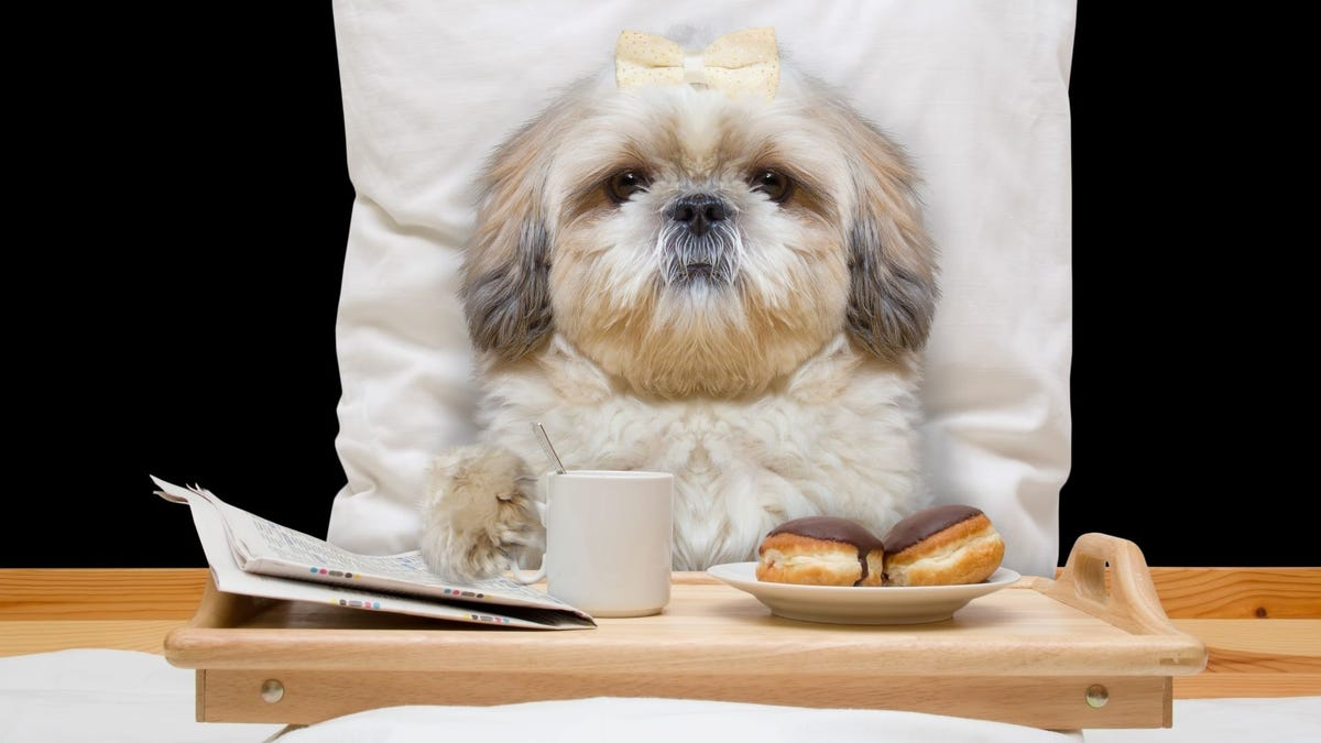 A little dog in a hotel bed with a breakfast tray in front of her.