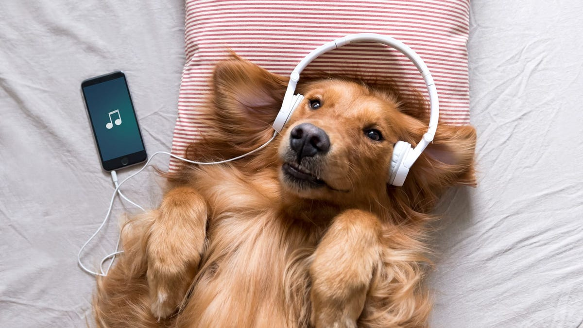 A Golden Retriever wearing headphones and listening to music.