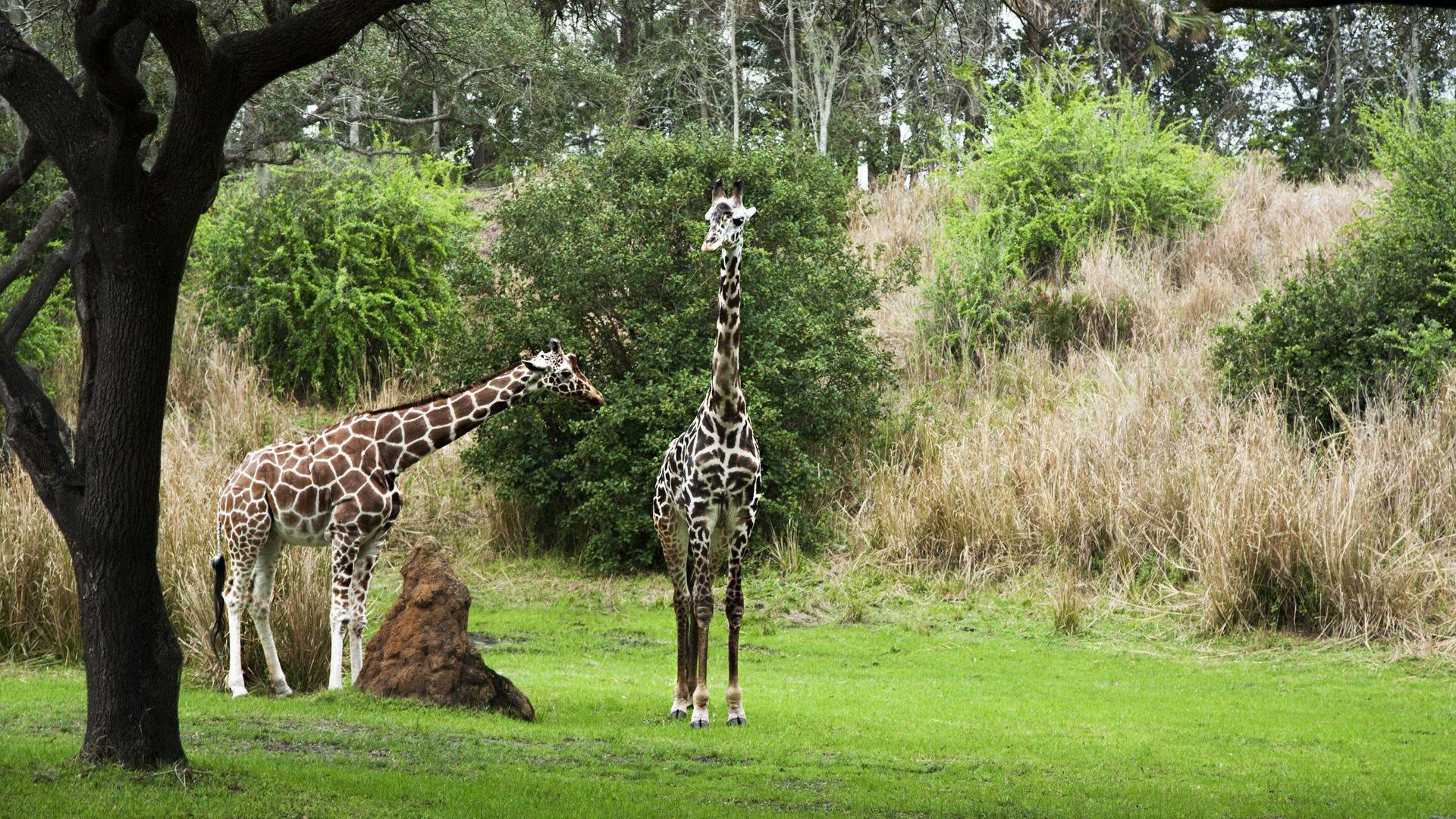 Two giraffes at Disney World's Animal Kingdom.