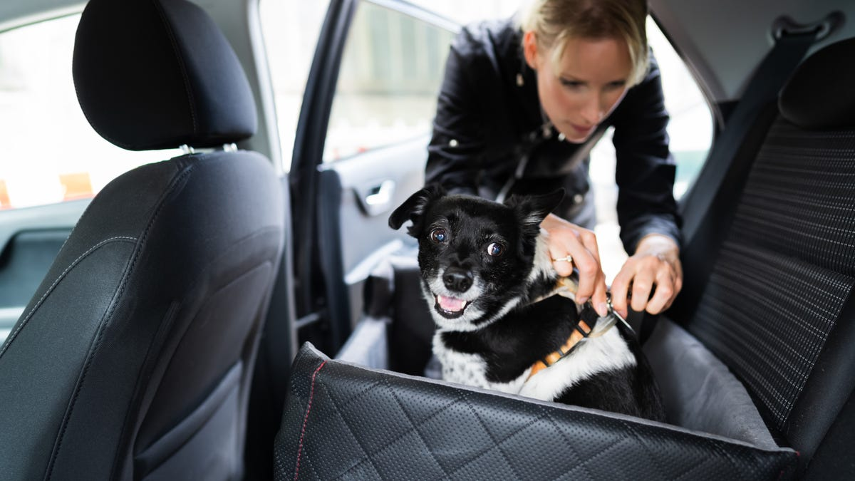 Woman fastening a small black and white dog in a car with a dog seatbelt.