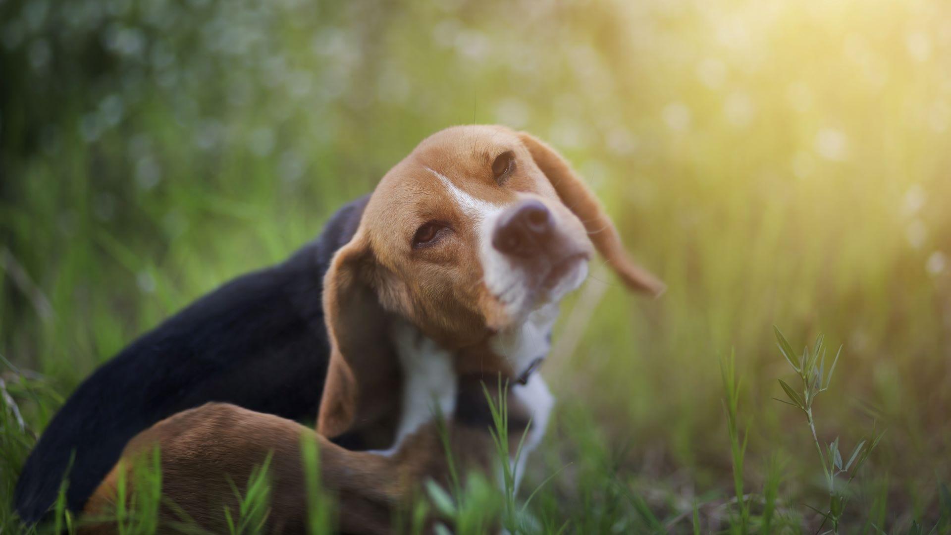 A beagle scratching in tall grass.
