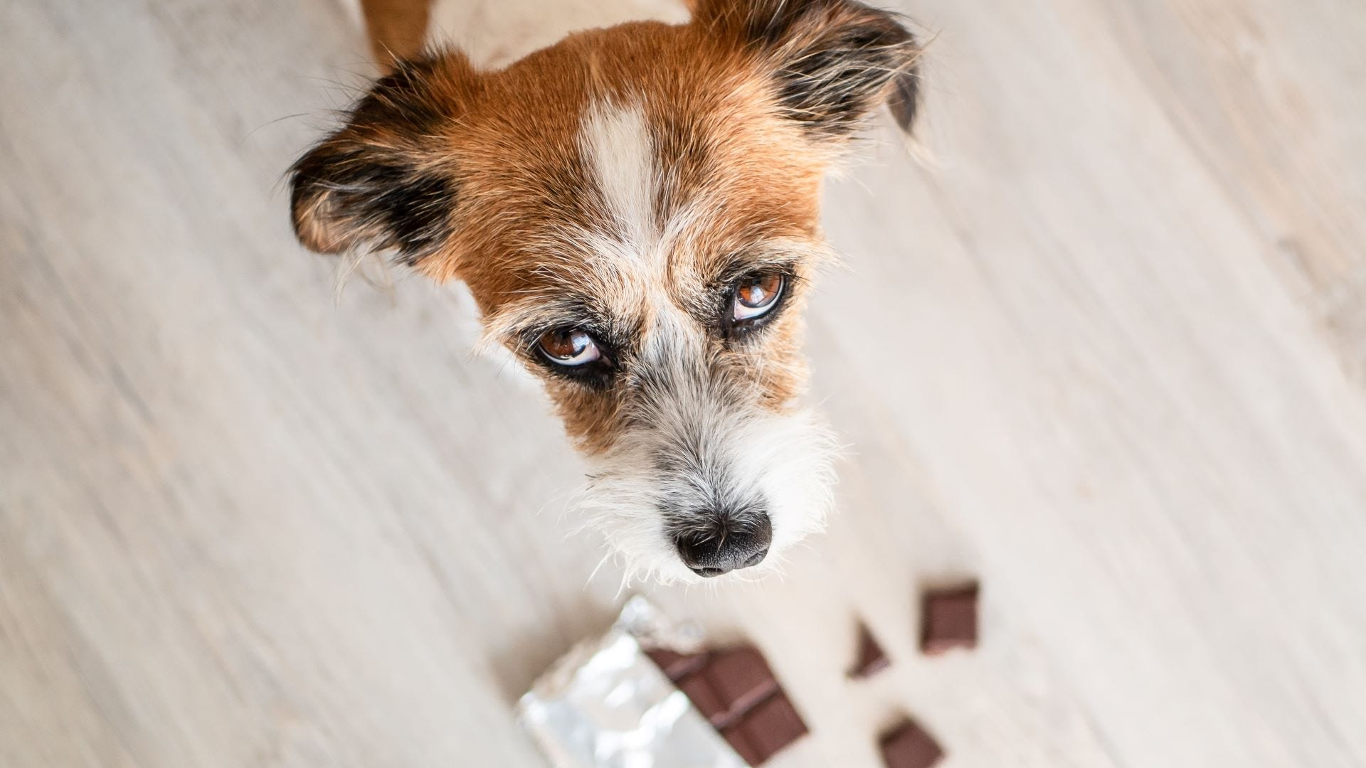 A little terrier dog looking guilty and an open chocolate bar on the ground.