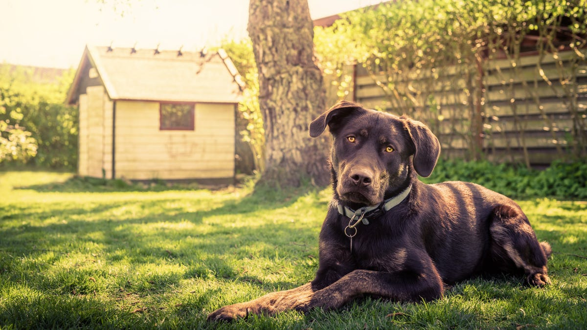 A brown dog laying down in green grass in front of a doghouse.