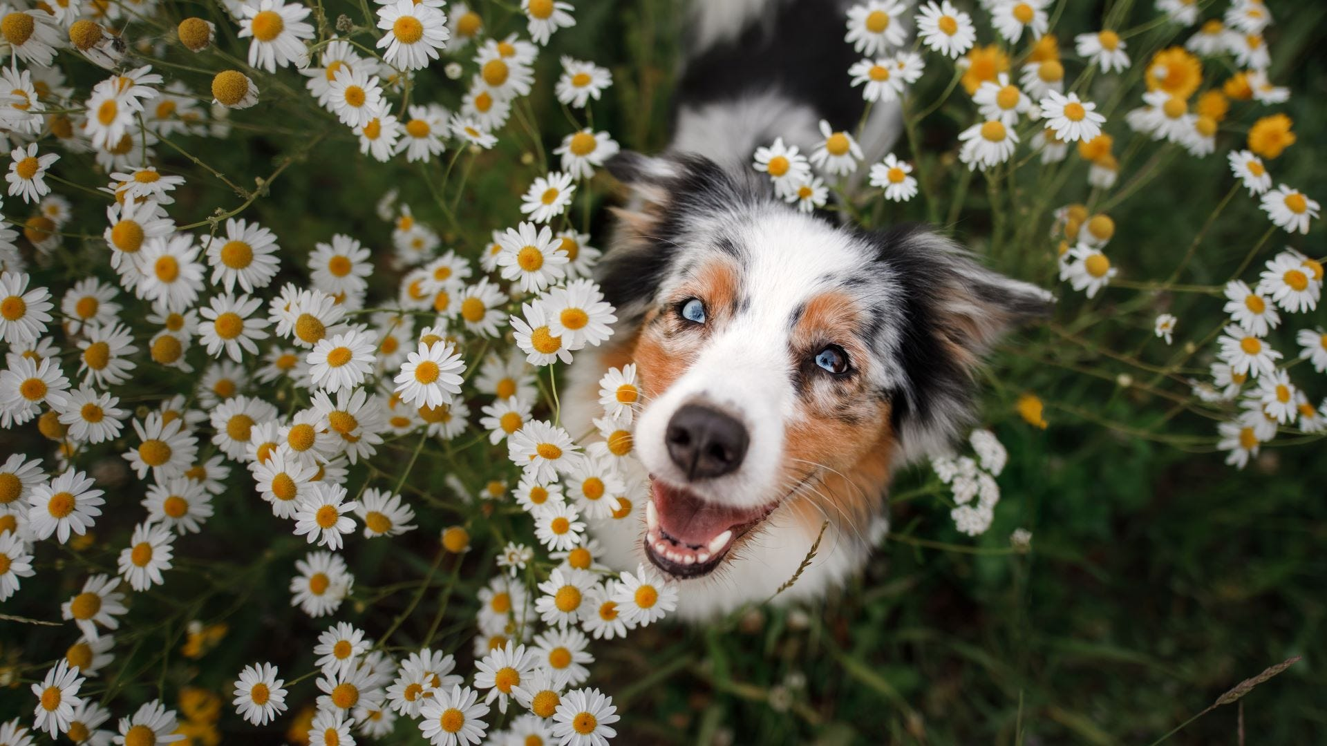 An Australian Shepherd in a field of daisies.