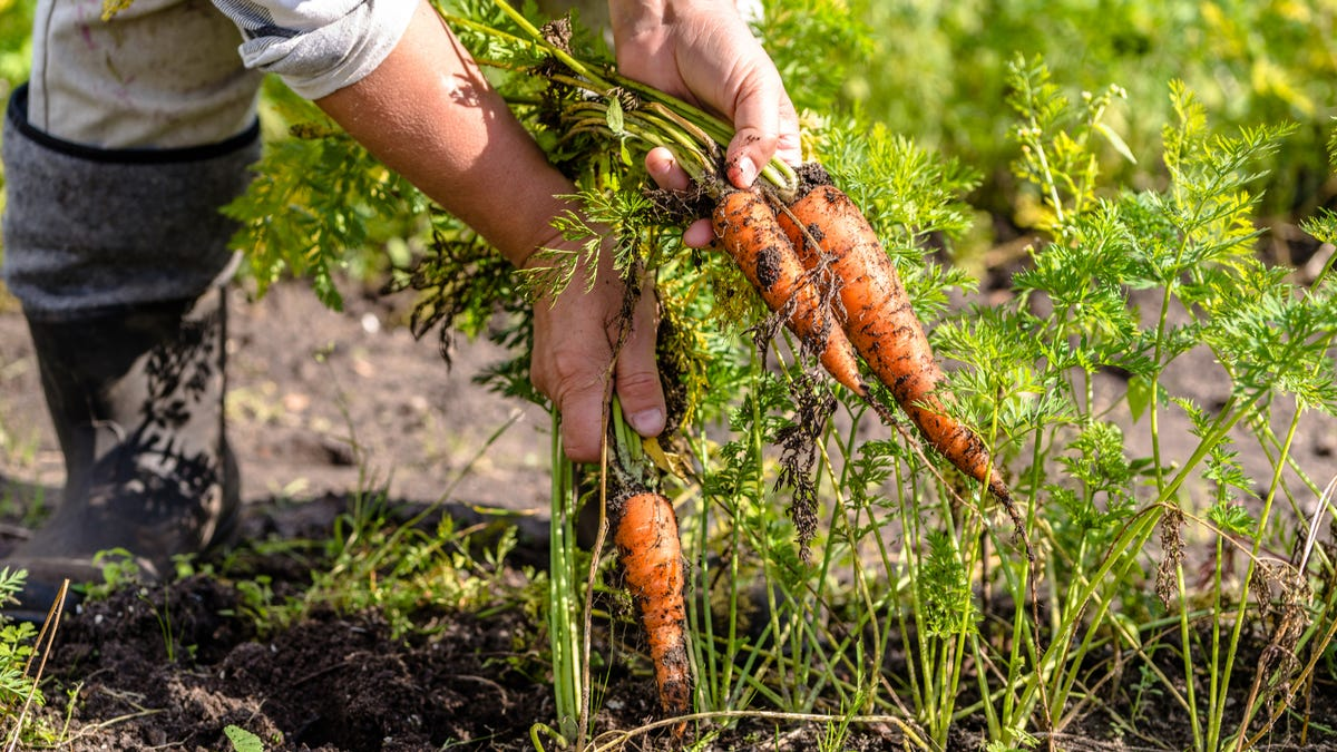 A farmer pulls carrots out of the ground in a garden.