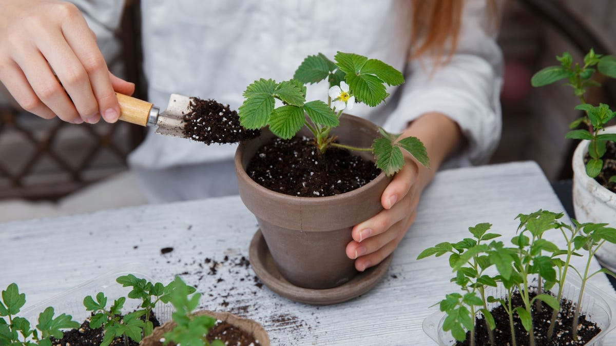 Someone repotting a plant.
