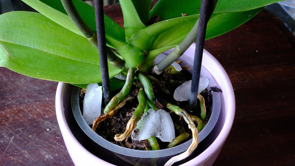 Ice cubes sit on top of the soil of a houseplant.