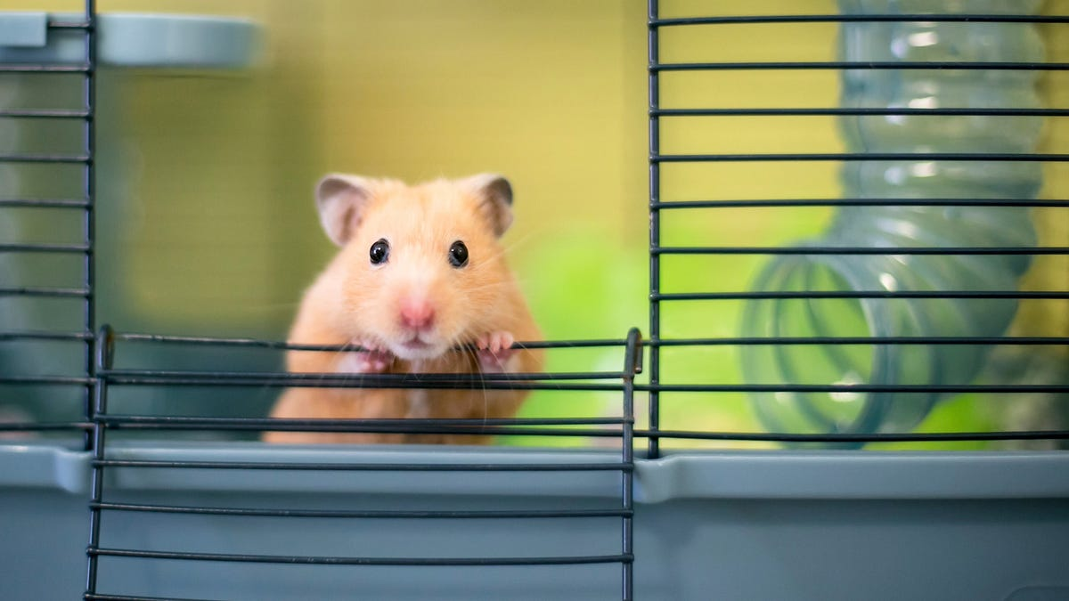 A Syrian golden hamster peeking out of its cage.