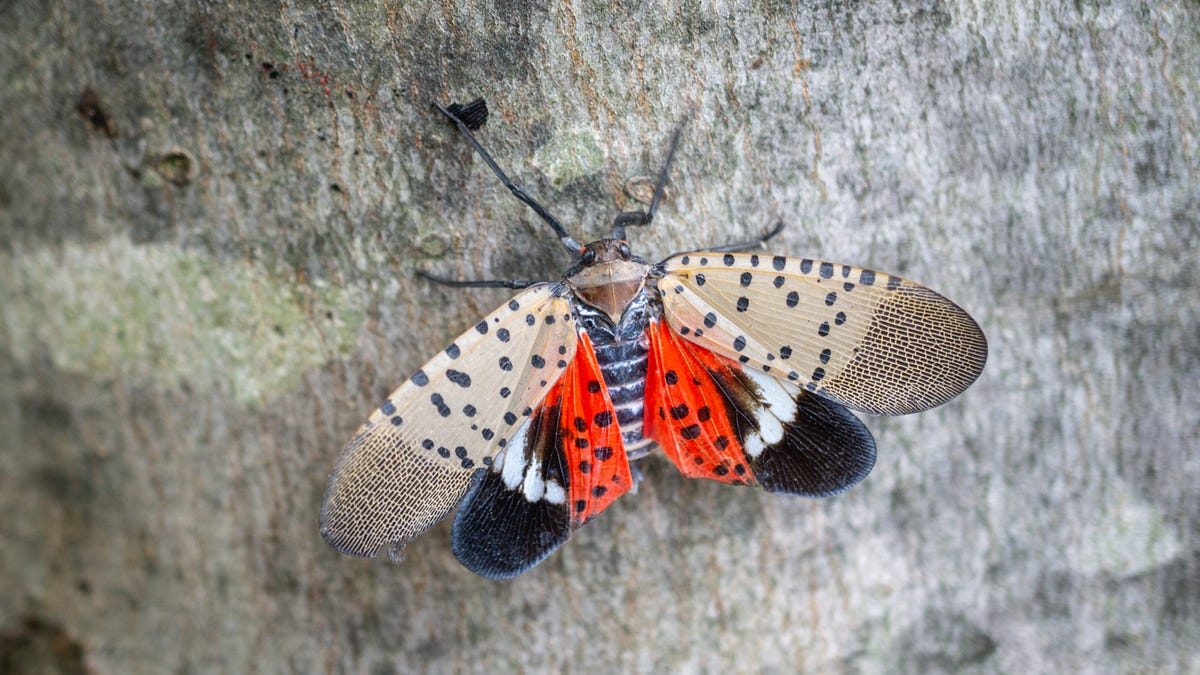 A winged insect with spotted red wings sits on a tree.
