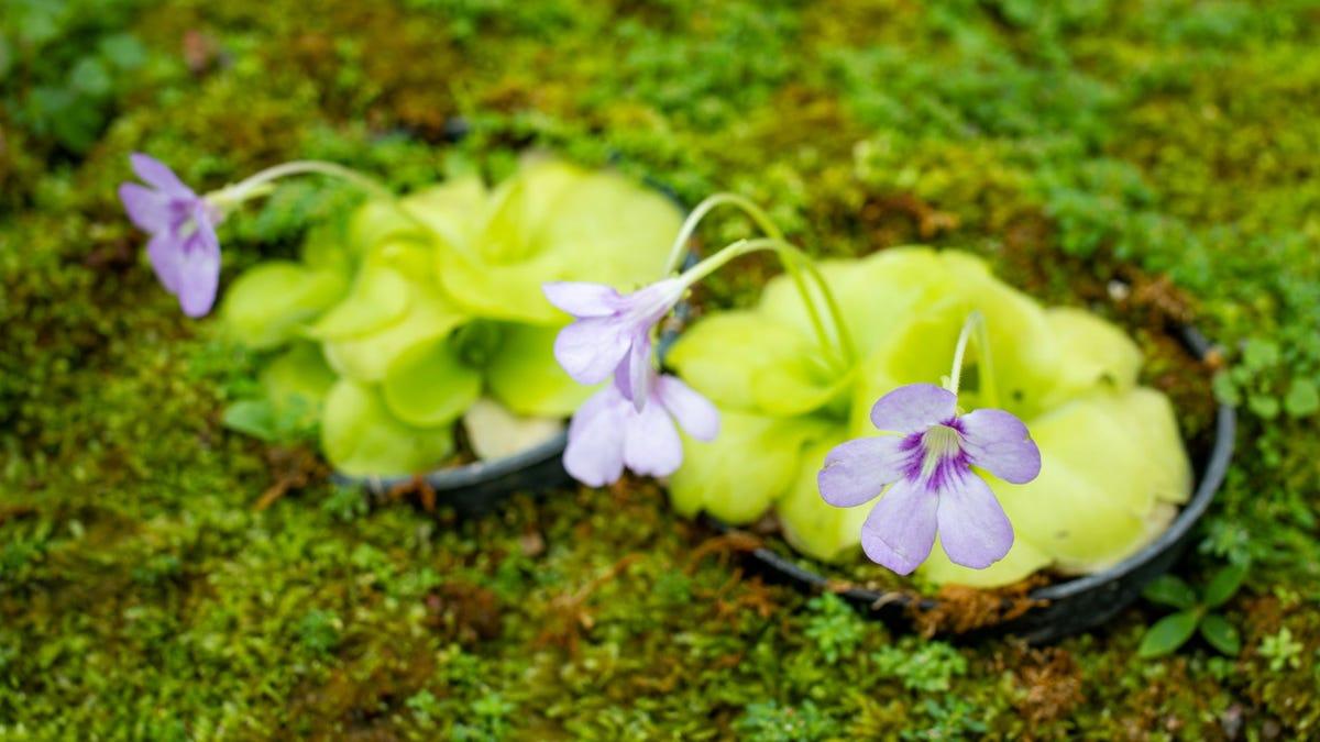 Purple Mexican Butterwort flowers in a garden.
