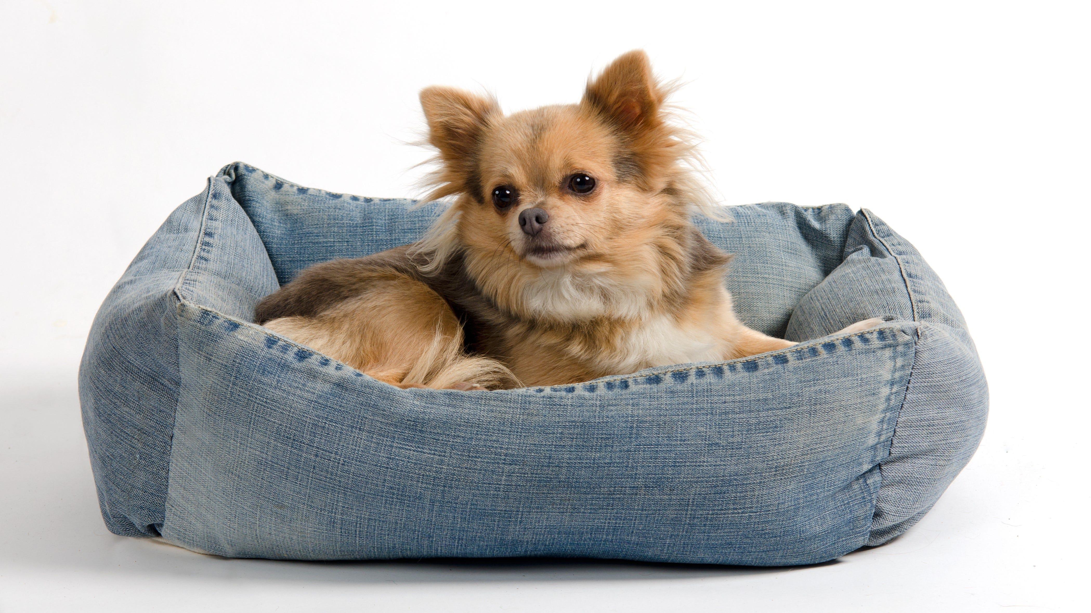 A dog in a denim dog bed.