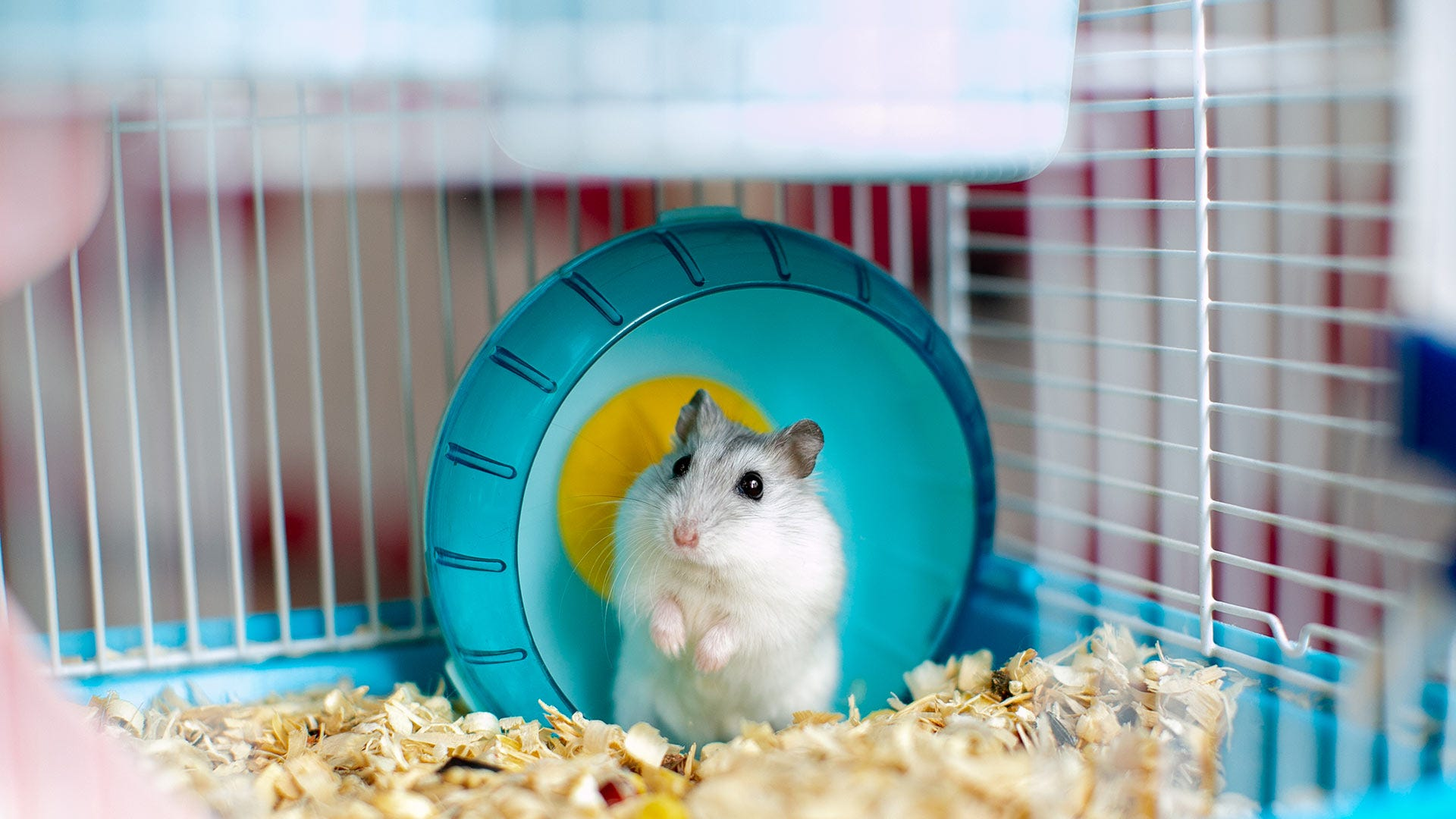 A light-colored hamster looks curiously at the camera from inside a wire cage.