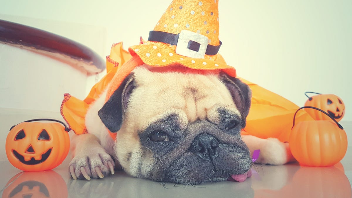 A pug wears a witch's hat and is surrounded by pumpkins
