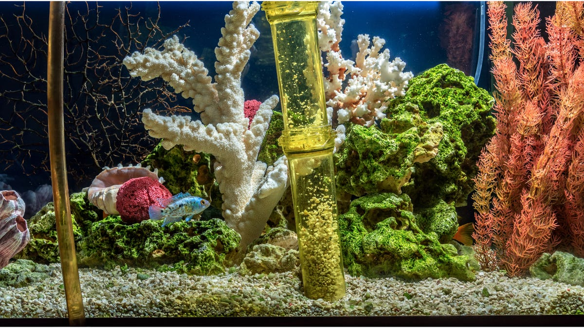 cleaning of gravel through a tube in a freshwater aquarium