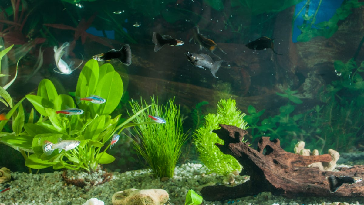 aquarium with many small fish and plants and sand and accessories