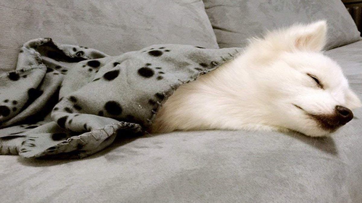 cute white puppy sleeping on a couch underneath a fleece blanket