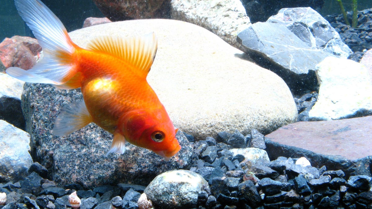 a goldfish in an aquarium near the bottom layer of gravel and rocks