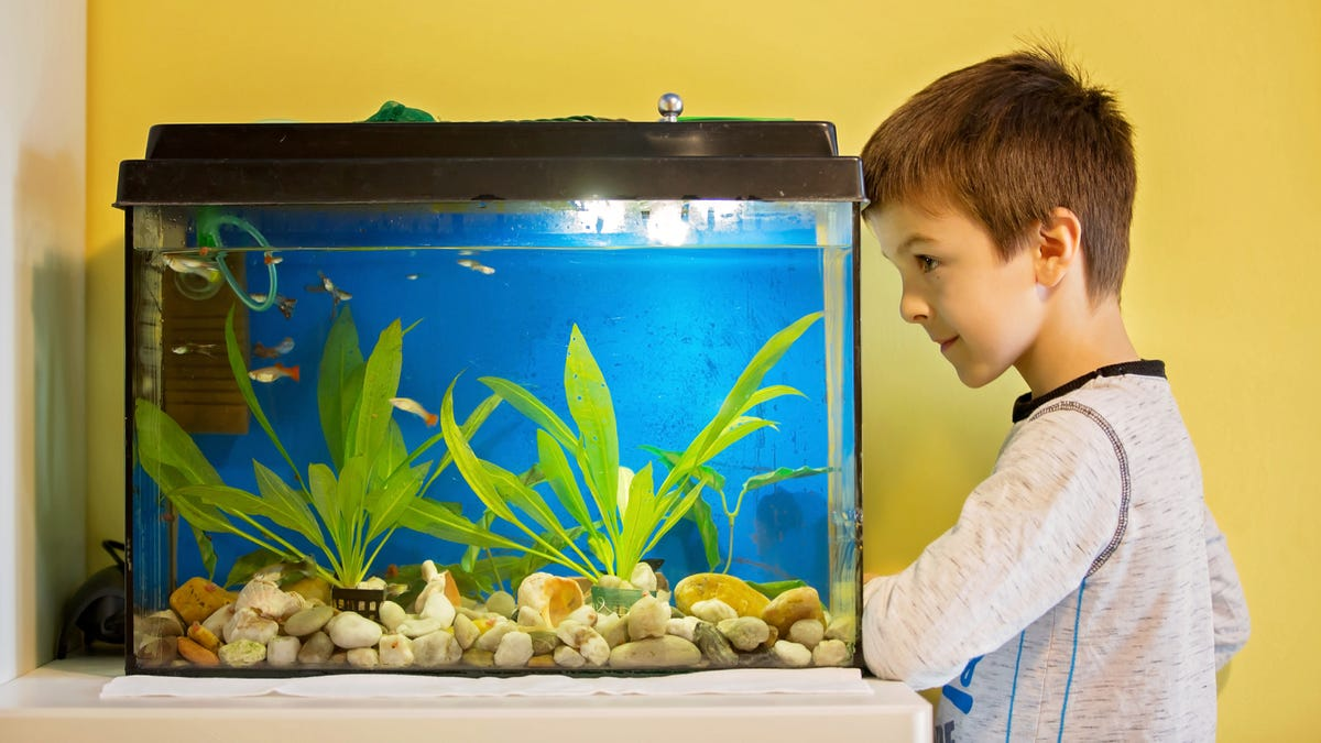 A little child studying fishes in a fish tank.