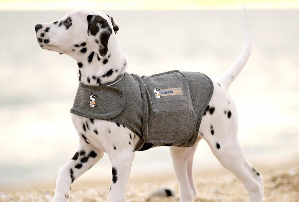 A dalmatian pup wearing the Thundershirt Anxiety Jacket.