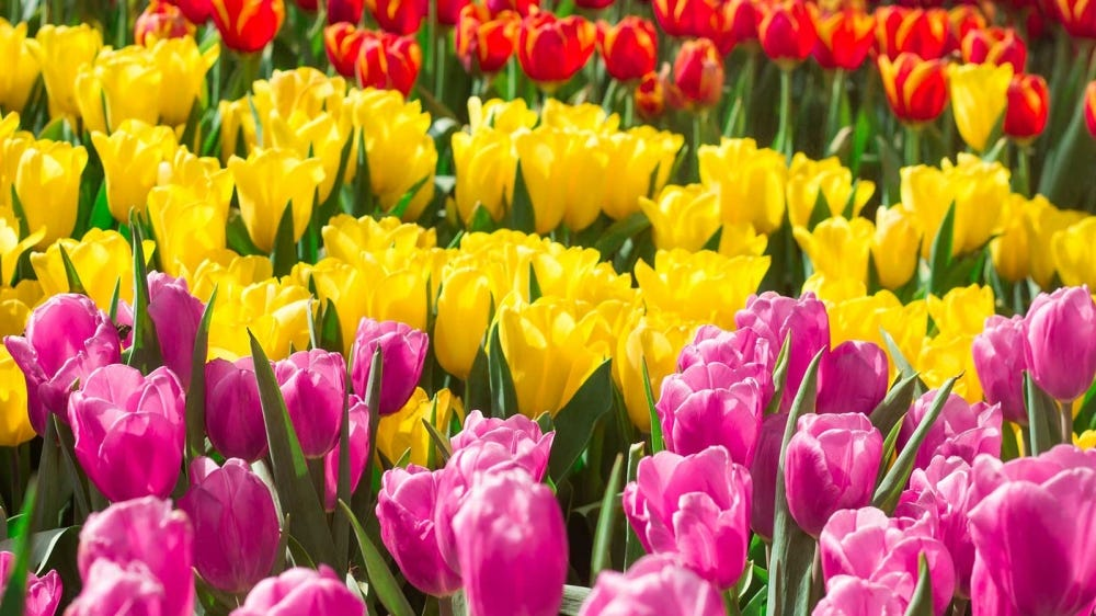Rows of colorful tulips, blooming in the spring.