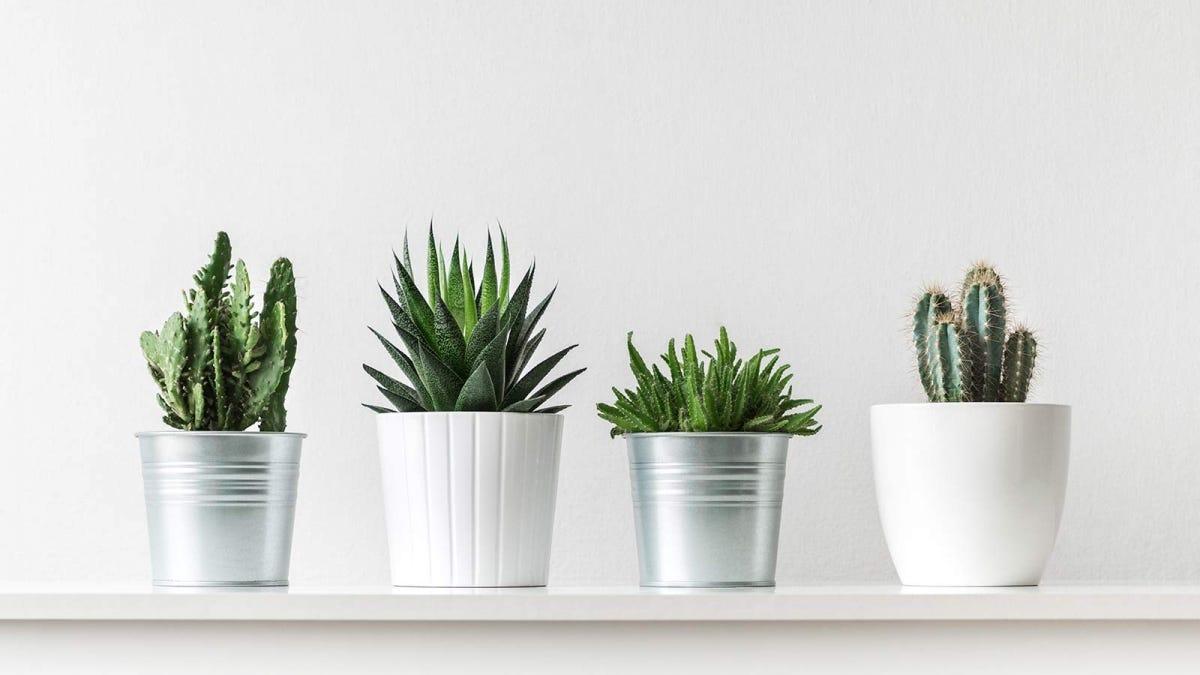 Four succulent plants in small pots.