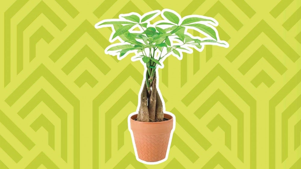 A money tree against a bright background.