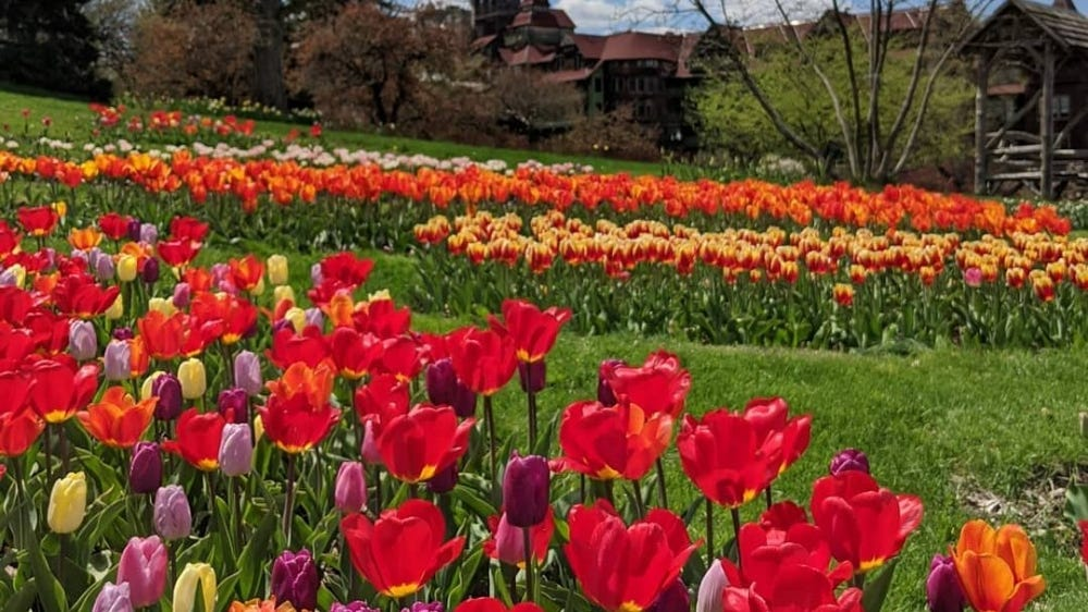 A field of red, yellow, and orange tulips in front of the Mohonk Mountain House Resort.