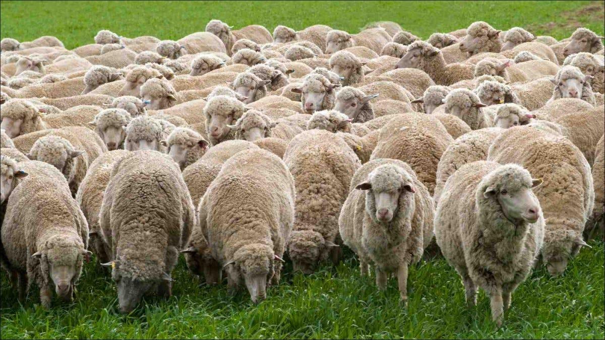 Merino sheep grazing in Australian field