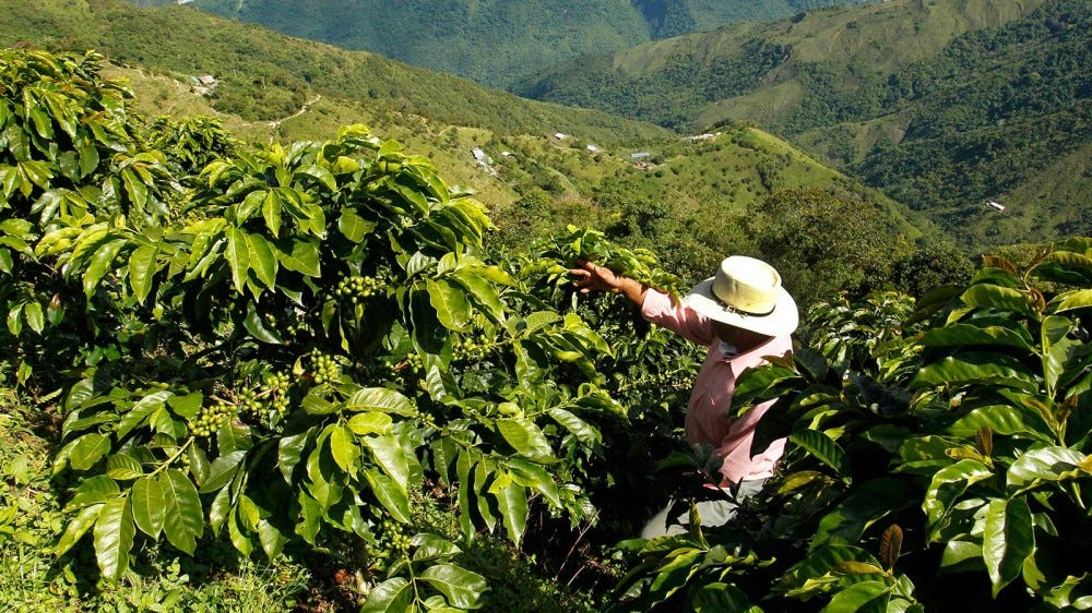 A Columbian coffee farmer checking on his crops.