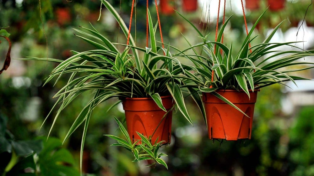 Two spider plants in hanging pots.