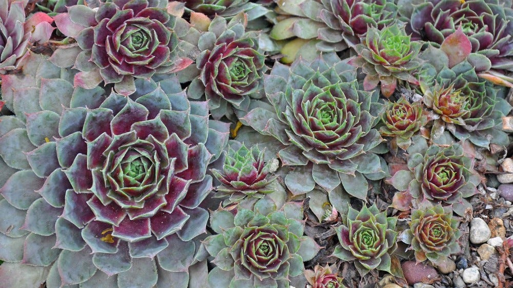 """Green and purple """"hen and chicks"""" succulents."""