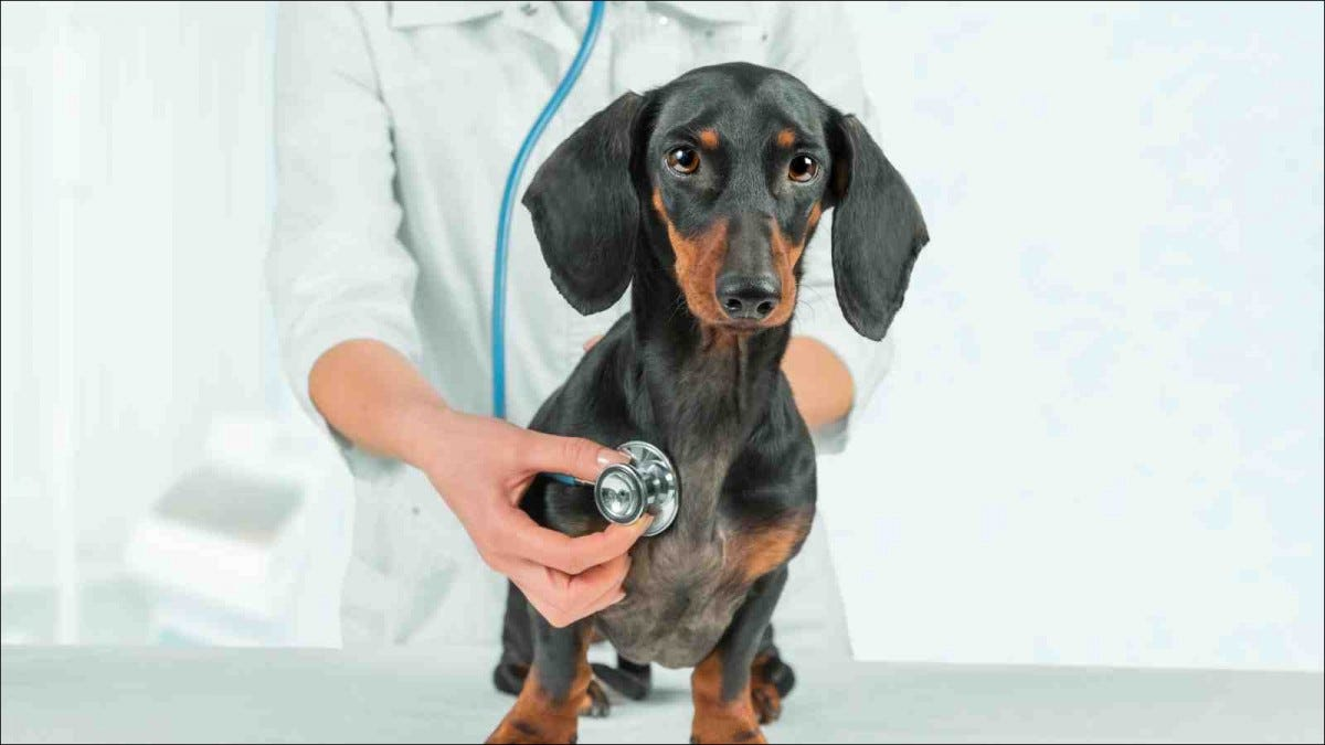 veterinarian listening to dachshund's chest with stethoscope