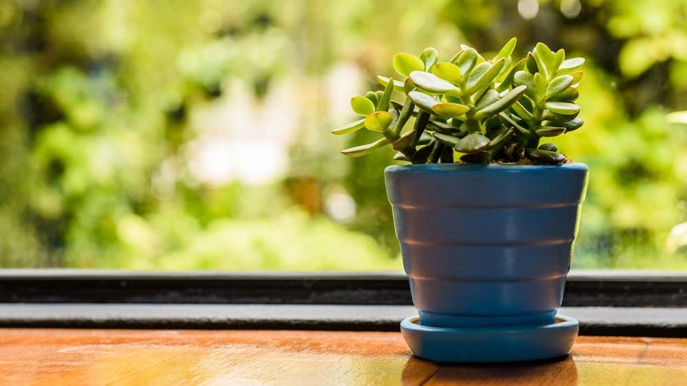 A small jade plant in a blue pot sitting on a windowsill.