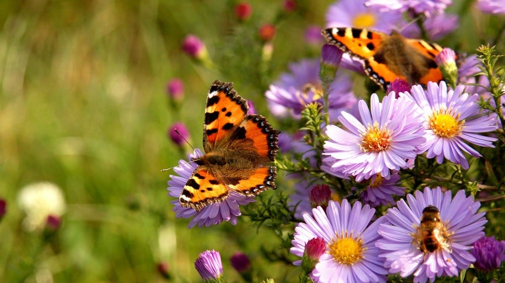 Butterflies resting on wildflowers in a field.