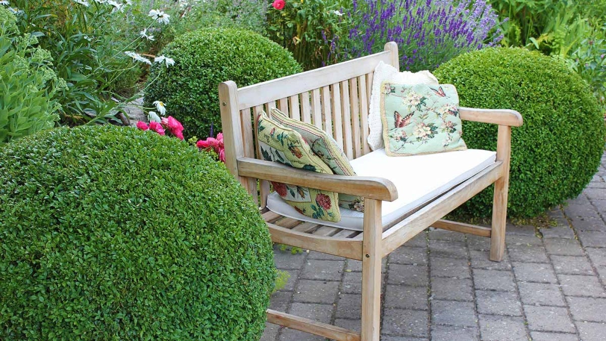 Wooden bench between two boxwood bushes