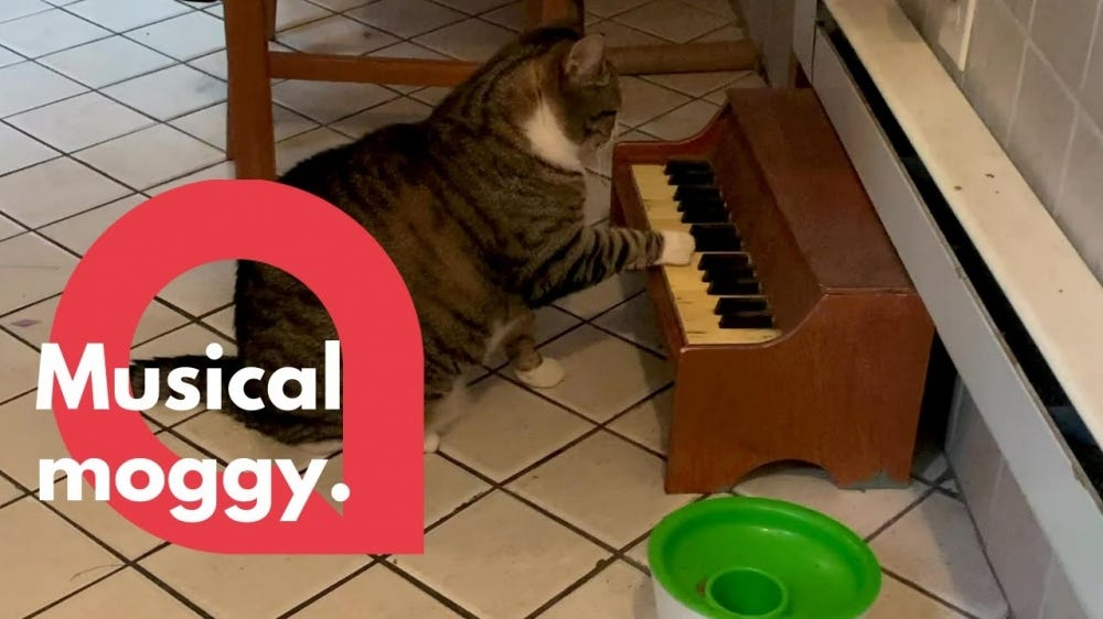 A cat plays a tiny piano to announce it is hungry.