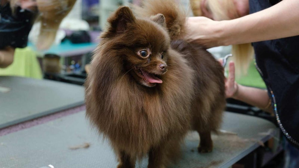 A brown Pomeranian being groomed at the groomer.
