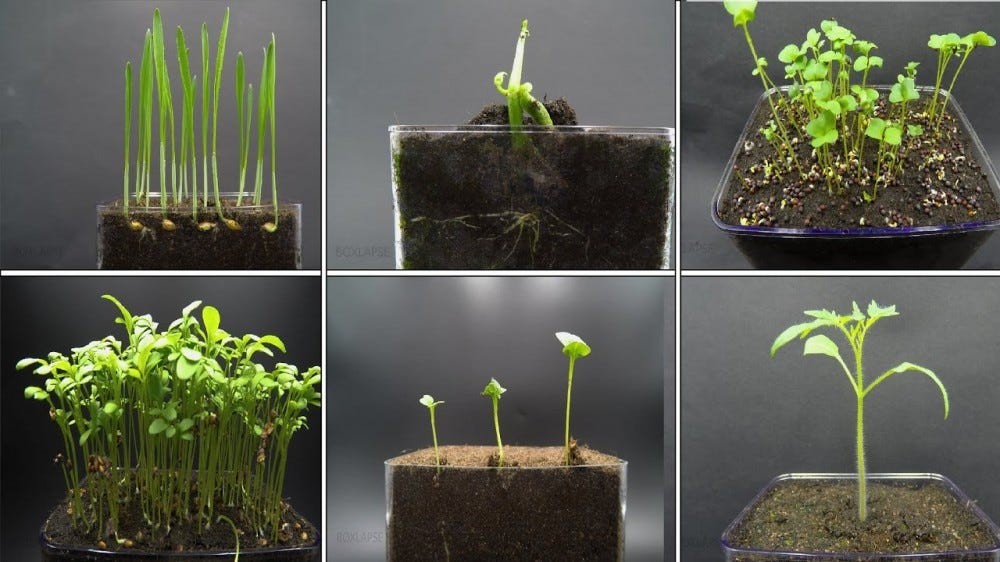 Time lapse shots of individual plants growing in clear containers.