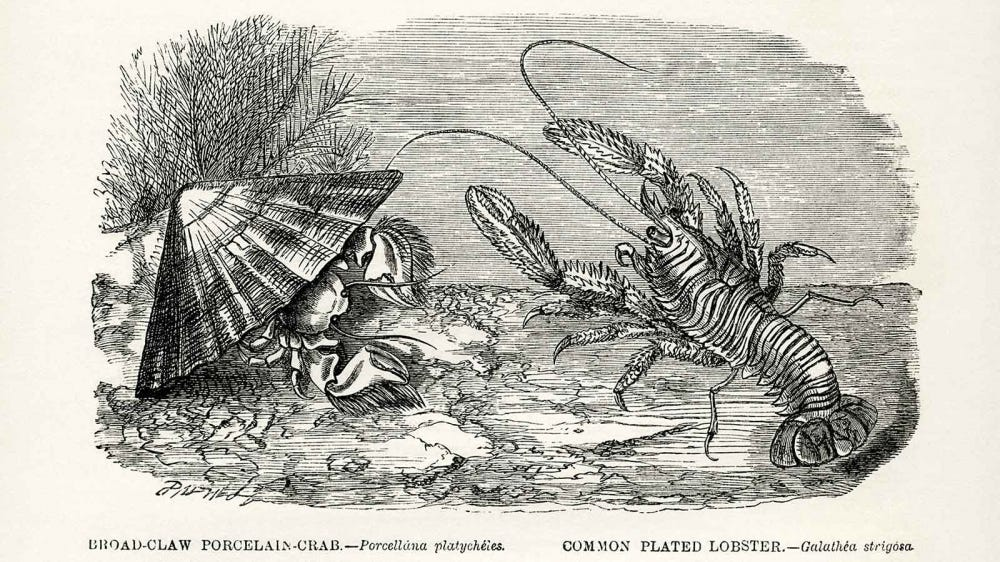 Vintage woodcut print of a crabs and lobsters.