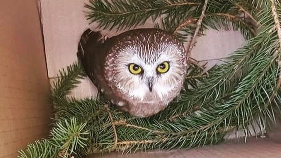 An owl sits inside a cardboard box with branches.