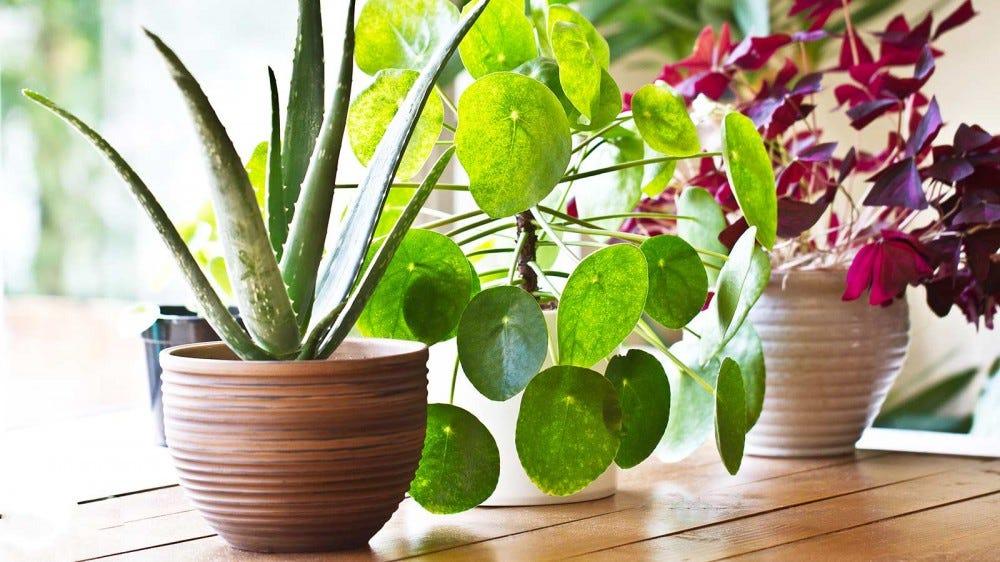 Houseplants sitting on a windowsill.