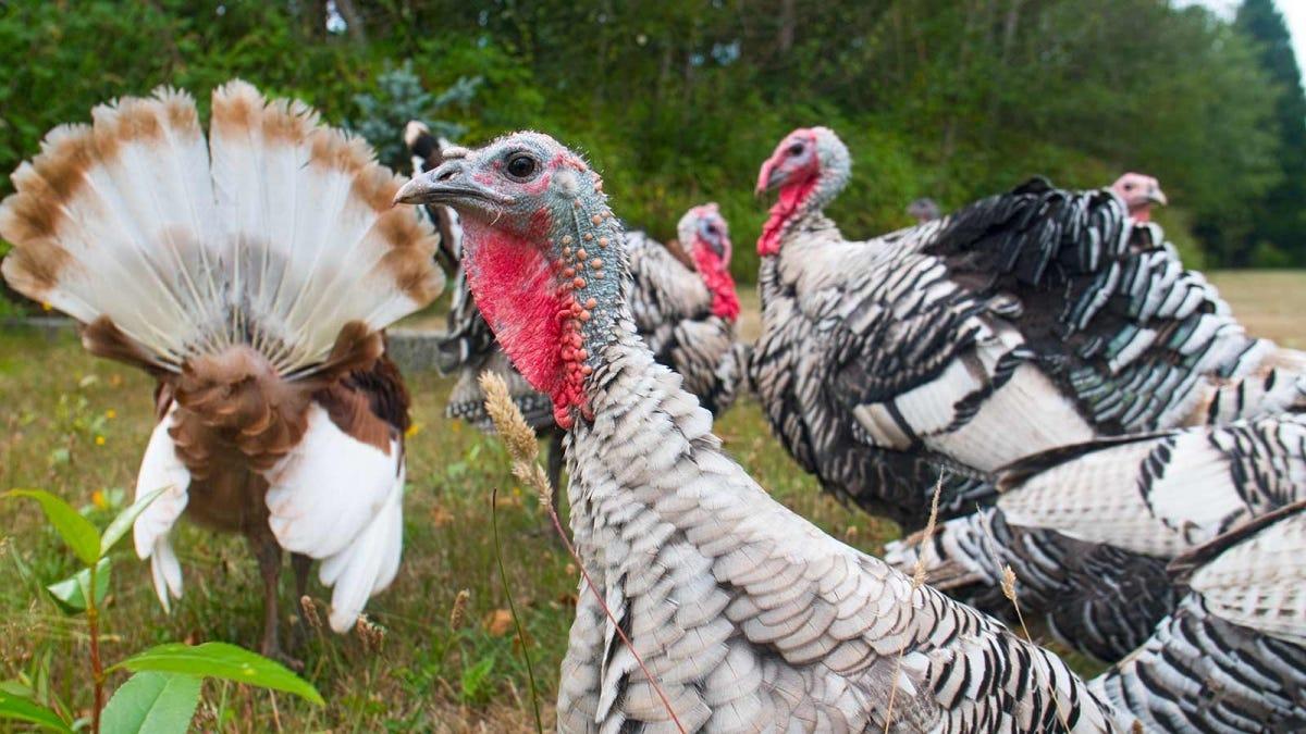 """free range """"heritage"""" turkeys on a farm"""