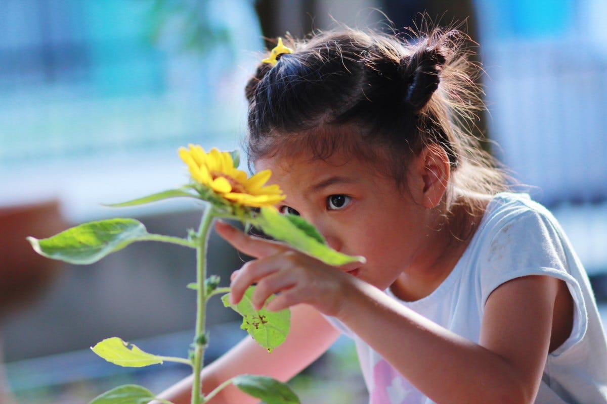 Little girl engaged in scientific observation of a sunflower's growth.