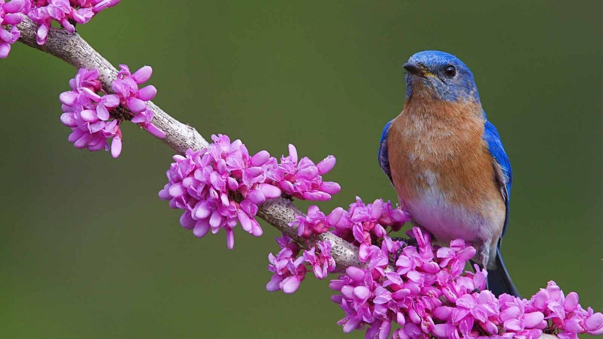 A bluebird perched on the branch of a flowering tree.
