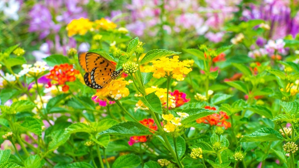 A monarch butterfly on some wildflowers.
