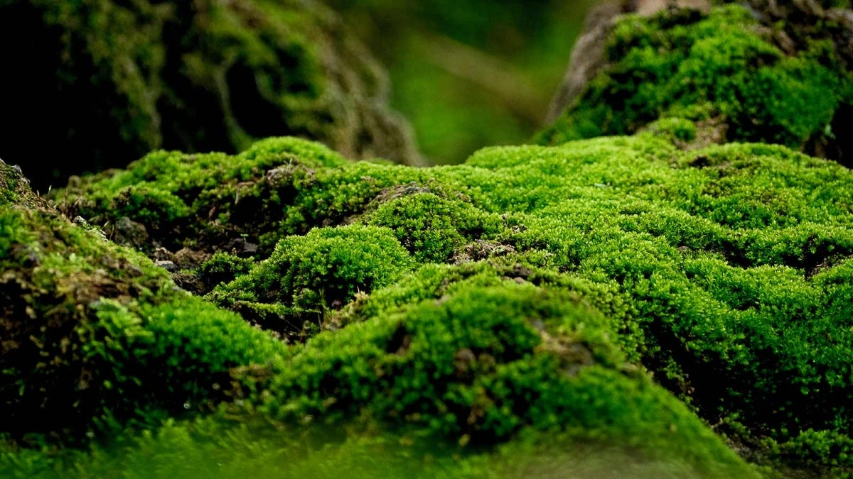 Closeup of moss that looks like a tiny forest.