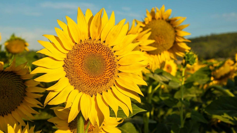 A field of sunflowers photographed in the early morning.